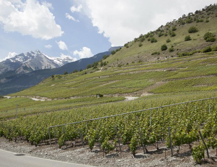 Balade botanique viticole à Savièse