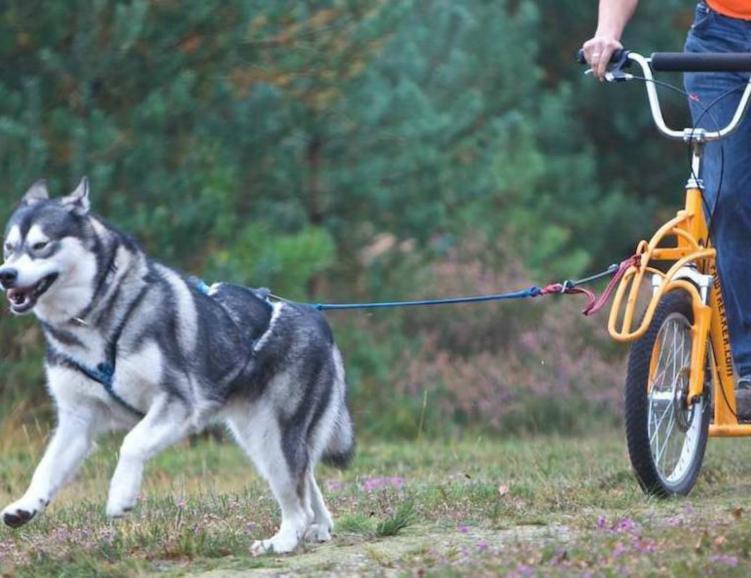 Huskybike et cheval franches-montagnes
